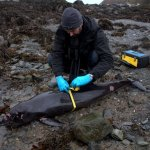 Stranding: learning from the death of a harbour porpoise