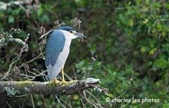Black-crowned night heron, Skibbereen, West Cork