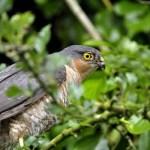 "Sparrowhawk: the ""Ronseal"" of Irish birds!"