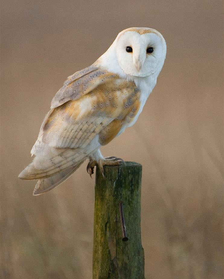 Barn owl encounter in West Cork : Ireland's Wildlife