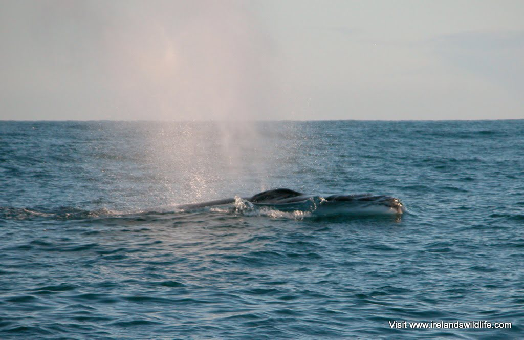 Fin whale surfacing with smaller companion just off West Cork