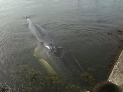 Fin whale live stranded in Baltimore, West Cork