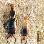 Irish Earwigs: the caring nature of a much maligned insect