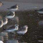 Sanderlings, Long Strand