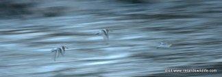 Sanderling in flight, Long Strand