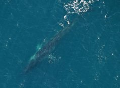 Fin whale Ireland