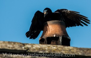 Rook Chimney bathing (1 of 5)