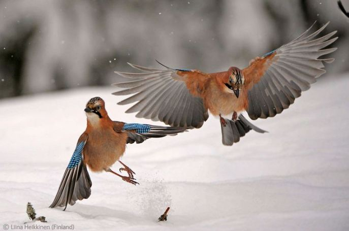 Squabbling Jays by Finnish 9-year-old Liina Heikkinen, runner up in the Under 10s category