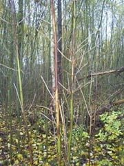 Ash Dieback Disease in Ireland