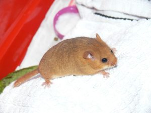 Non-native Hazel Dormouse found in County Kildare, Ireland