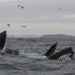 World Class Whale Watching off the West Cork Coast