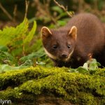 Irish DNA analysis confirms first Welsh pine marten record in 40 years