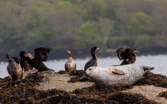 Common seal and shags on the West Cork coast