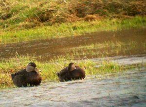 American Black Duck Ireland