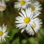 Common Daisy (Bellis perennis) by Nuuuuuuuuuuul via Flickr