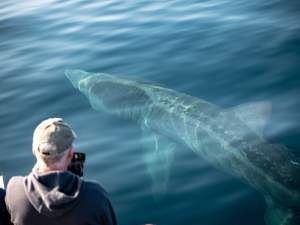 Basking Sharks Ireland's Wildlife Tours