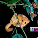 Have you seen a dormouse in Ireland?