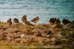 Lesser Sand Plover, Pilmore Strand, Co. Cork, Ireland