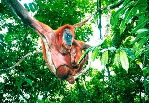 A mother and baby orang-utan