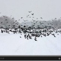 Know your crows -- how to identify corvids with the BTO