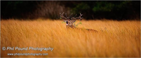 A roaring red deer stag -- winner of Best Single Wildlife Image at the IPPA Awards 2014