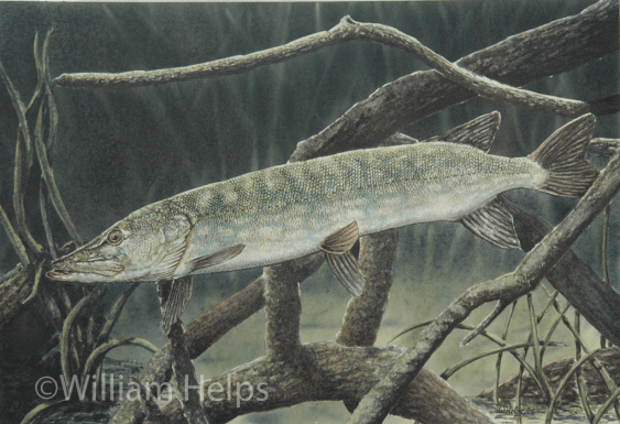 Pike in Cover by William Helps