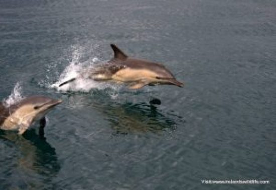 Common dolphins  make a bee line for the Holly Jo on our spring Discover Wildlife Weekend