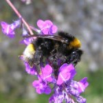 Lost bumblebee rediscovered in Dublin after 88 years