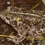 Endangered natterjack toad makes an Irish comeback