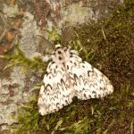 Black arches moth recorded for the first time in 100 years