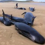 Pilot Whales Donegal