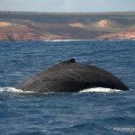 Humpback whale Kalbarri