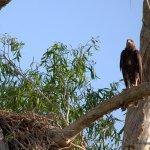 A young white-bellied sea-eagle on Corroboree Billabong Wetland Cruise