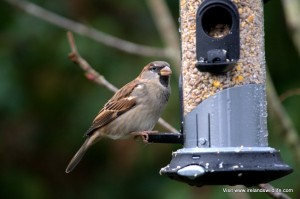 House sparrow eating High Energy No Mess seed mix from an Appollo easy-clean bird feeder