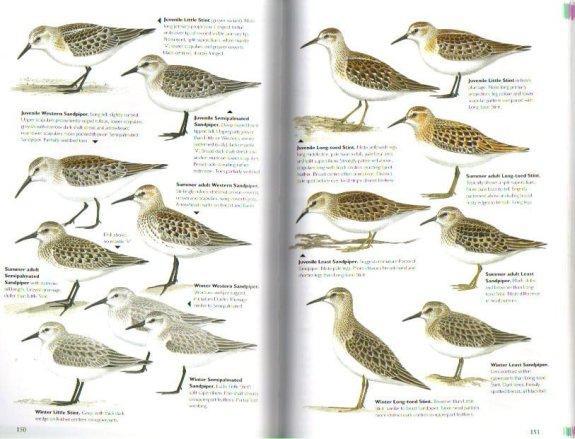 Wader illustrations, The Helm Guide to Bird Identification