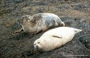 Common seals hauled out on rocks