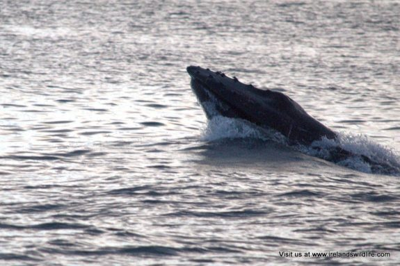Humpback whale inchydoney West Cork