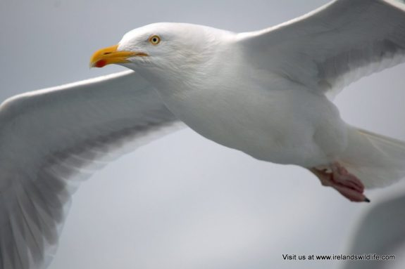 Herring gull under fire
