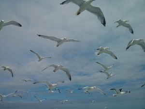 Gull cull, yes or no?