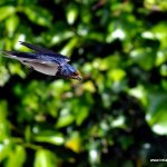 And they're back! First swallows arrive at IWHQ
