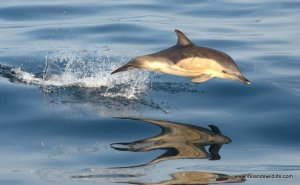 Common Dolphin off the West Cork coast