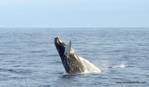 Whale watch in West Cork, May 2016
