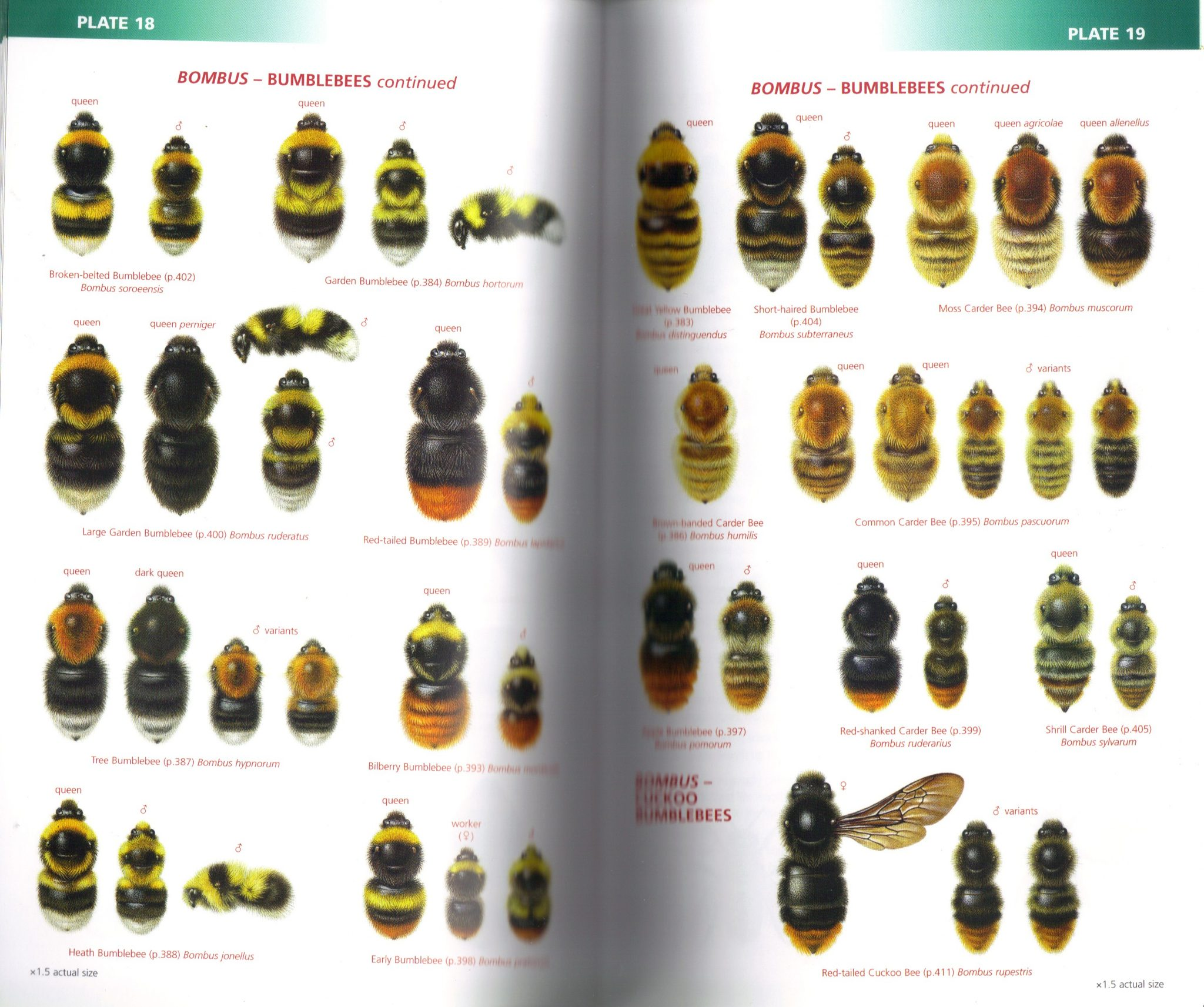 Guide to bees of britain filberts of dorset.