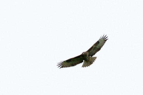 Buzzard soaring in West Cork, Ireland