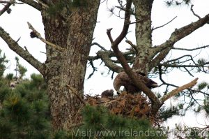 White-tailed eagle adult and chick in West Cork (Photo taken under licence from the National Parks and Wildlife Service)