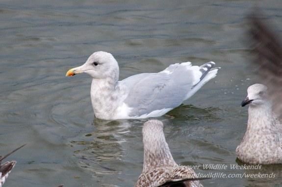 Glaucous-winged gull, West Cork, Ireland