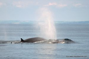 Fin whales: regulars off Ireland's wild south coast!