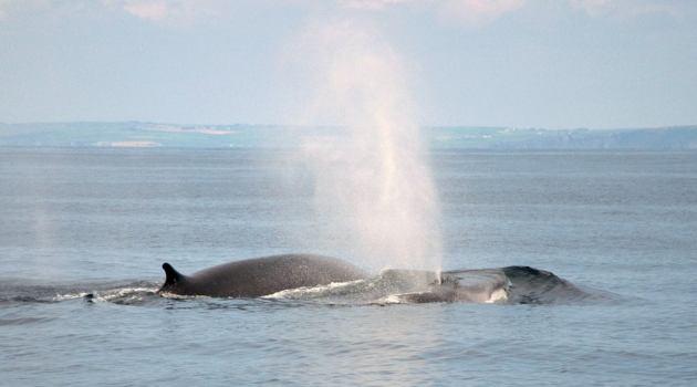 Fin whales: regulars off Ireland's wild south coast!