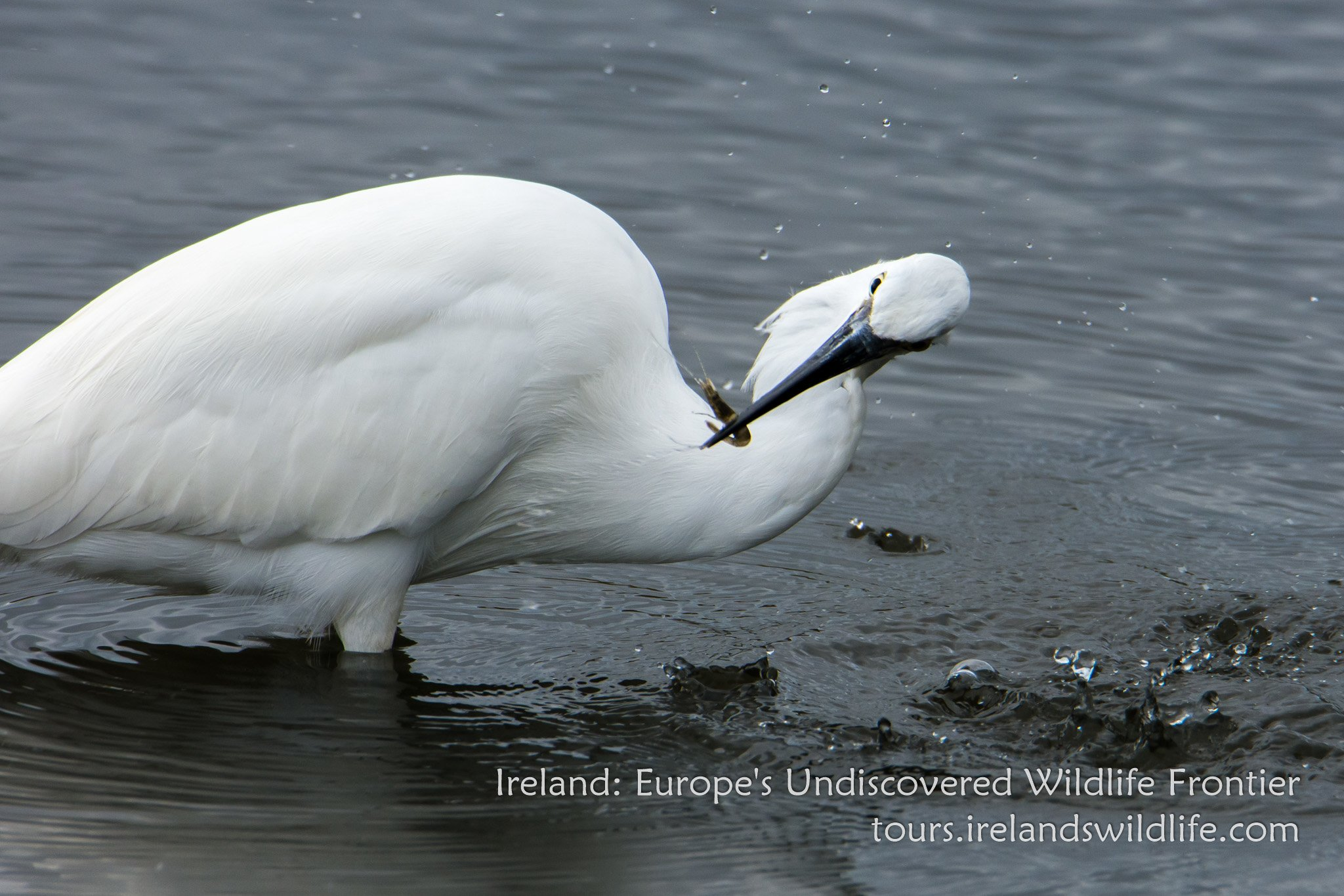 A relatively recent addition to Ireland's avifauna, there's something really endearing about little egrets.