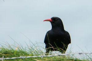 Chough are common on Ireland's south coast